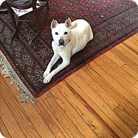 Adopt A Pet :: SNOWBALL - HARRISBURG, PA