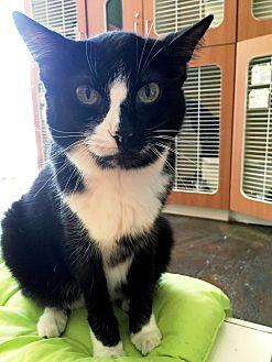 Domestic Shorthair Cat for adoption in Los Angeles, California - Honey