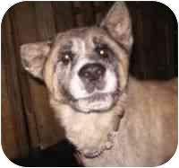 Akita Dog for adoption in Boca Raton, Florida - Dewey