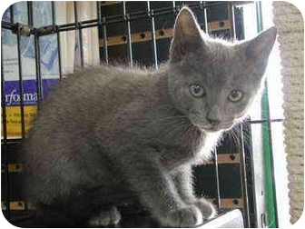 Russian Blue Kitten for adoption in Fort Lauderdale, Florida - Woolie