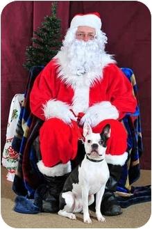 Boston Terrier Dog for adoption in Juniper Mountain, Nova Scotia - DEXTER