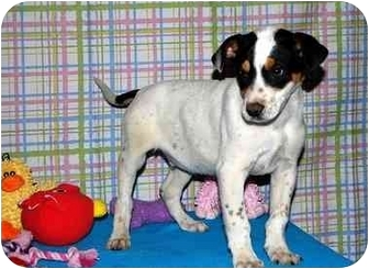 Australian Cattle Dog/Australian Cattle Dog Mix Puppy for adoption in Broomfield, Colorado - Bruce Willis