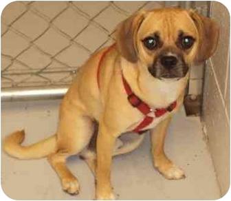 Pug/Beagle Mix Dog for adoption in Cannelton, Indiana - Scooby Doo