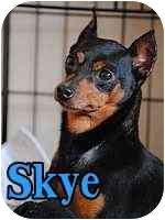 Miniature Pinscher Mix Dog for adoption in Appleton, Wisconsin - Skye