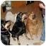 Photo 3 - Chow Chow/Golden Retriever Mix Dog for adoption in Auburn, California - Kimo