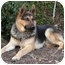 Photo 4 - German Shepherd Dog/Husky Mix Dog for adoption in Los Angeles, California - Lucky von Lagerhof