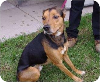 Hound (Unknown Type) Mix Dog for adoption in Ladysmith, Wisconsin - Charlie