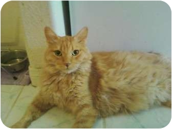 Domestic Longhair Cat for adoption in Las Vegas, Nevada - Tiger