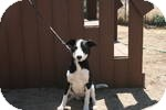 Border Collie Dog for adoption in Simi Valley, California - Hershey