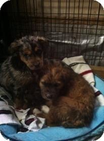Australian Shepherd/Bluetick Coonhound Mix Puppy for adoption in Hazard, Kentucky - Molly Mindy and Mandy