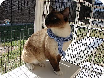 Siamese Cat for adoption in Corpus Christi, Texas - Sinatra