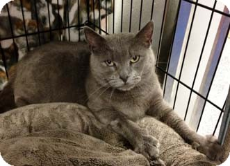 Russian Blue Cat for adoption in Merrifield, Virginia - Sheavy