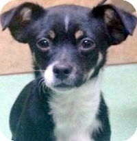 Chihuahua Mix Puppy for adoption in Los Angeles, California - Sprint *VIDEO*