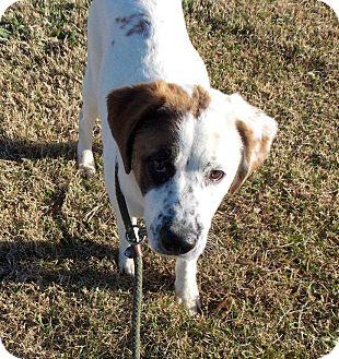 Labrador Retriever Mix Dog for adoption in Hatifeld, Pennsylvania - Sheba