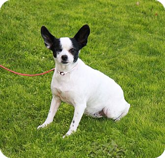 Boston Terrier/Chihuahua Mix Dog for adoption in Gilbert, Arizona - Clair