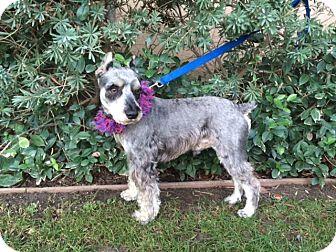 Schnauzer (Miniature) Dog for adoption in Irvine, California - MAX