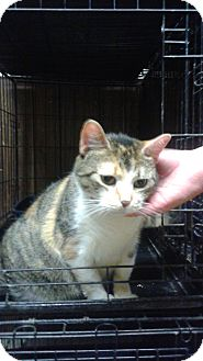 Domestic Shorthair Cat for adoption in Bronx, New York - Kayla