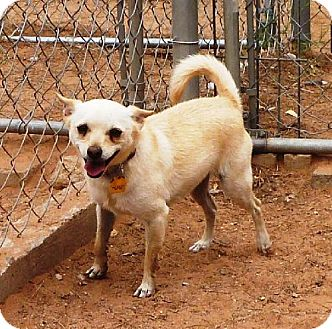 Chihuahua Mix Dog for adoption in Las Cruces, New Mexico - Charlie
