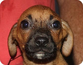 Miniature Pinscher Mix Puppy for adoption in Colonial Heights, Virginia - Stephanie