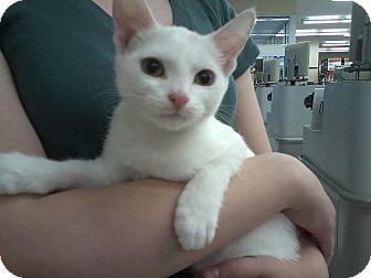 Domestic Shorthair Kitten for adoption in Livonia, Michigan - Penelope