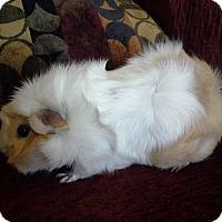 Adopt A Pet :: LuLu - San Antonio, TX