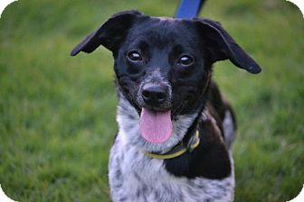Corgi/Border Collie Mix Puppy for adoption in Southington, Connecticut - Yeti