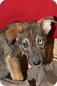 Shepherd (Unknown Type) Mix Puppy for adoption in Waldorf, Maryland - Twix