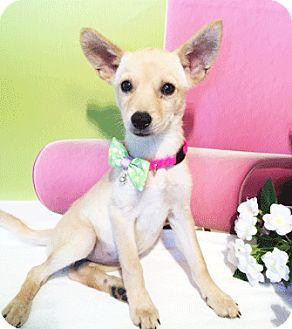Labrador Retriever Mix Puppy for adoption in Castro Valley, California - Leyla