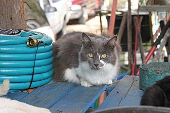 Domestic Mediumhair Cat for adoption in Morriston, Florida - Bronson Mama