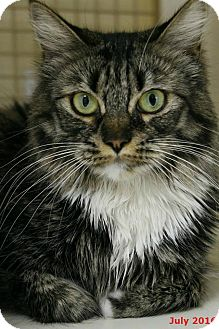 Maine Coon Cat for adoption in Encino, California - Miss Kitty