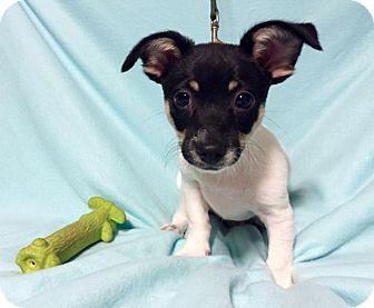 Chihuahua Mix Puppy for adoption in Harrisonburg, Virginia - Baby Pipsqueak (RBF)