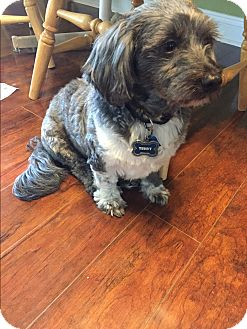 Lhasa Apso/Shih Tzu Mix Dog for adoption in Jacksonville, Florida - Teddy