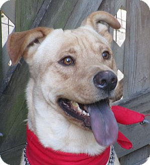 Labrador Retriever/Husky Mix Dog for adoption in Wilwaukee, Wisconsin - A - RIO