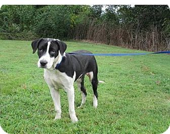 Great Dane/Hound (Unknown Type) Mix Dog for adoption in Baxter, Tennessee - Bosley