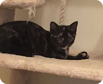 American Shorthair Kitten for adoption in New Albany, Ohio - Angelique