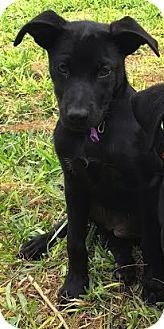 Labrador Retriever Mix Puppy for adoption in Saddle Brook, New Jersey - Big Girl