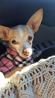 Chihuahua Dog for adoption in Spring, Texas - Twiggy