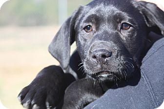 Labrador Retriever/Boxer Mix Puppy for adoption in Columbia, Tennessee - Sophia
