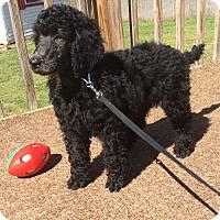 Adopt A Pet :: Diva - Greenville, SC