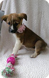 Australian Shepherd/Labrador Retriever Mix Puppy for adoption in Newark, Delaware - Trinity