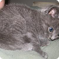 Adopt A Pet :: Persephone - Jefferson, NC