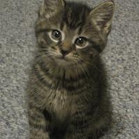 Adopt A Pet :: Kittens - Putnam, CT