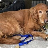 Adopt A Pet :: Shadow - Denver, CO