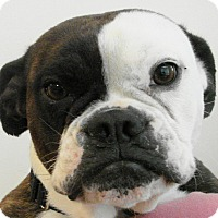 Adopt A Pet :: BeeBee - Chesterfield, MO