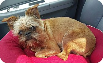 Brussels Griffon Mix Dog for adoption in Bridgeton, Missouri - Oliver-ADOPTION PENDING