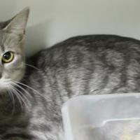 Adopt A Pet :: Smokey Lady - Robinson, IL