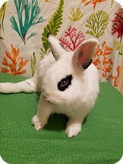 Dwarf Hotot Mix for adoption in West Palm Beach, Florida - Timmie