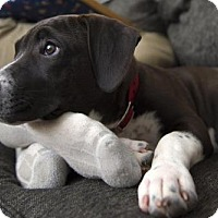 Adopt A Pet :: Kota - Perry Hall, MD
