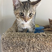 Adopt A Pet :: CHANEL - Owenboro, KY