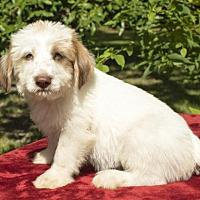 Adopt A Pet :: Cheeto --Salty litter little guy ! - Santa Fe, TX